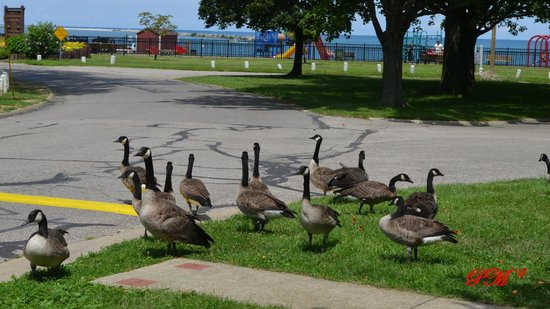Lake Shore Park: Canada Geese with playground and Lake Erie in background.