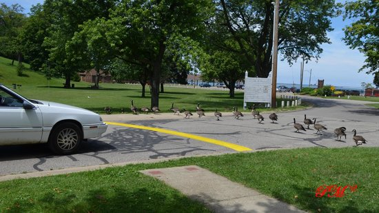 Lake Shore Park: Car waits for geese to cross road.