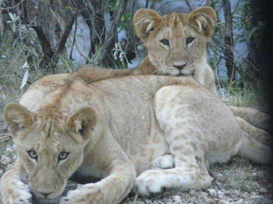 Porini Lion Camp: lion cubs