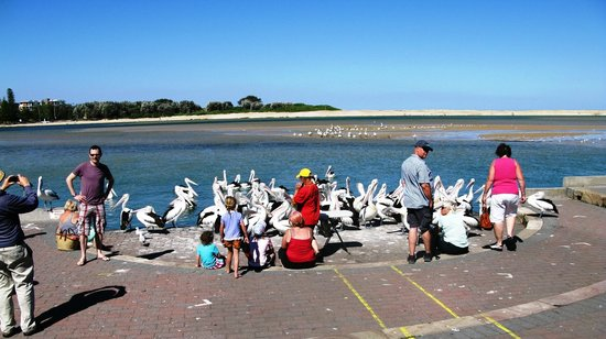The Entrance Heritage Walk: The pelicans start to gather