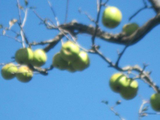 Krish Rauni : Apple on tree