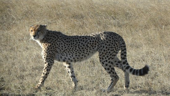 First African Dream Tours & Safaris : My Prince - the Cheetah