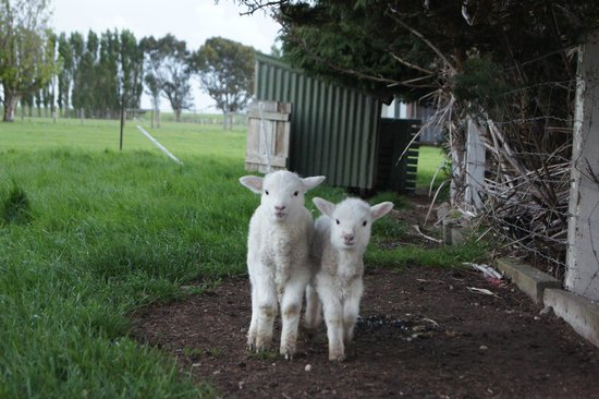 Lorneville Lodge and Holiday Park : the lambs
