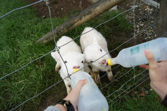 Lorneville Lodge and Holiday Park : feeding the lambs