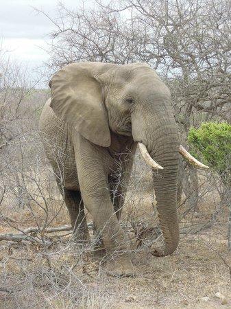 Toro Yaka Bush Lodge : Elephant on Game Drive