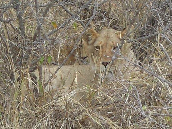 Toro Yaka Bush Lodge : Lions on Game Drive