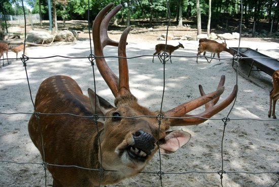 Southwick's Zoo : These particular deer are penned off from the others.