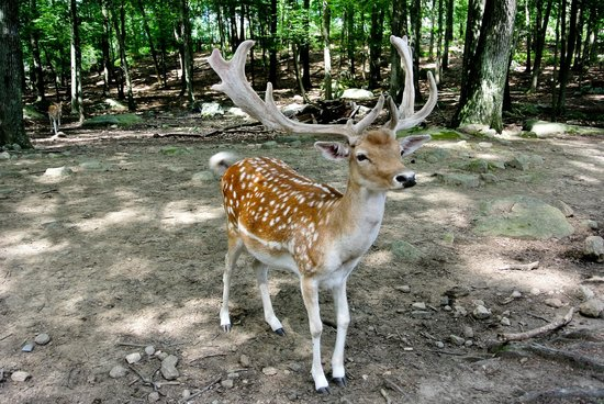 Southwick's Zoo : Beautiful deer in the forest! No fences between people!