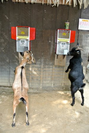 Southwick's Zoo : Goats trying to self-serve! :)