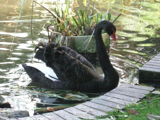 Birdworld: Black Swan