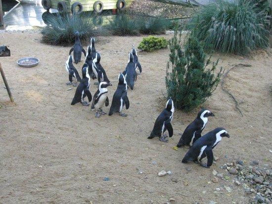 Birdworld: Humboldt Penguins