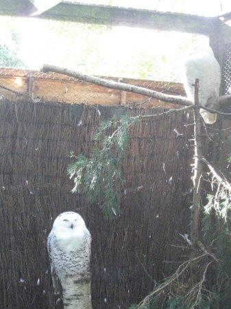 Birdworld: Snowy Owls