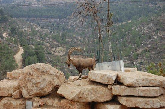 Tisch Family Zoological Gardens (Biblical Zoo): oryx