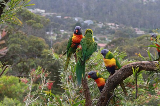 Kingfisher Motel: Rainbow Lorikeets