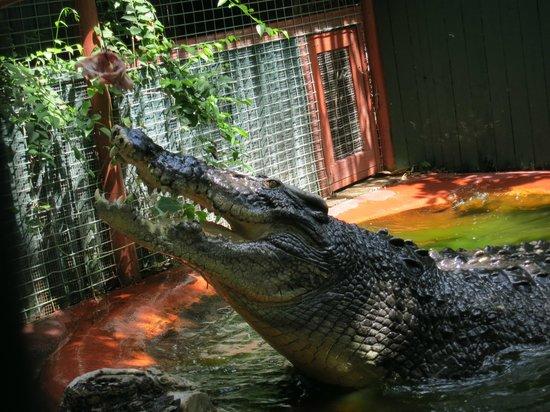 Marineland Crocodile Park : Cassius 5.5m