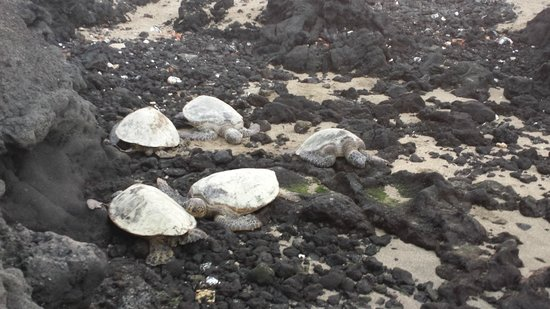 Lava Lava Beach Club Cottages : Sea turtles
