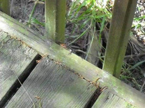 Orlando Wetlands Park: Puprle salimander