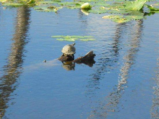 Orlando Wetlands Park: box turtle