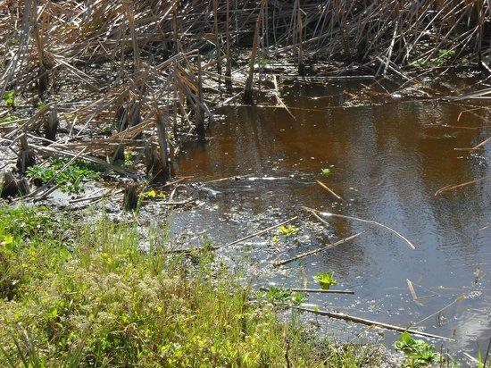 Orlando Wetlands Park: aby alligators swimming