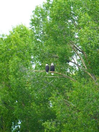 Teton Scenic Float Tours : eagles