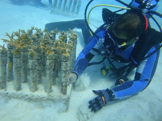 Havana Dive: vivero de corales de la semarnat
