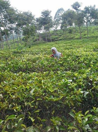 East Java, Indonesia: Kebun teh jamus ngawi