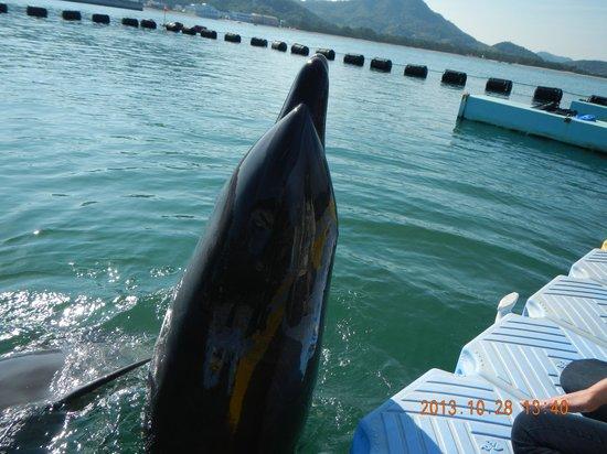 Japan Dolphin Center : たまたまイルカが顔出した