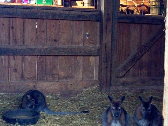 Circle G Ranch: Wild Animal Park & Camel Safari: wallabies