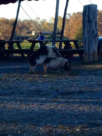 Circle G Ranch: Wild Animal Park & Camel Safari: pig penetration