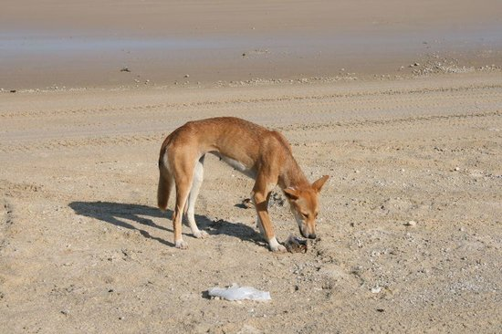 Fraser Experience Tours: Hungry dingo on the beach