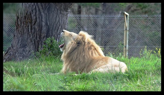 Jukani Wildlife Sanctuary: Beautiful male white lion.