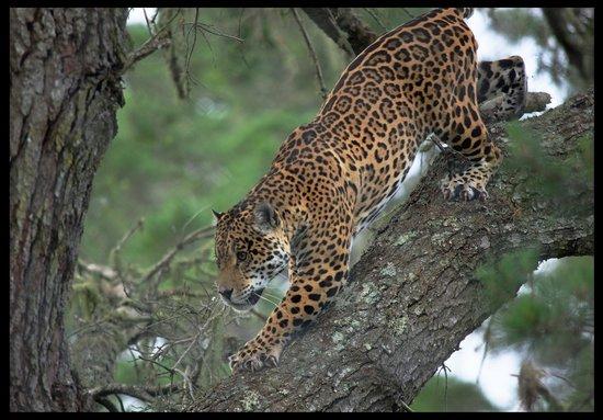 Jukani Wildlife Sanctuary: Jaguar enjoying his large enclosure.