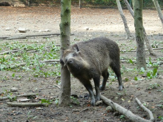 Heimat-Tierpark Olderdissen: Wildschweingehege