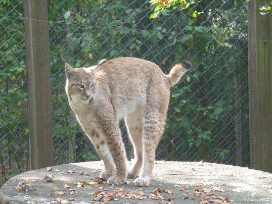 Heimat-Tierpark Olderdissen: Der Luchs