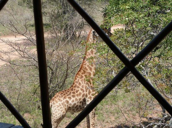 Pezulu Tree House Game Lodge : giraffa vista dal patio della camera