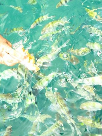 Koh Tan : Feeding fishes