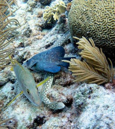 Belmar Oceanfront  Apartments: Schoolmaster, Spotted Eel and Soapfish at shallow edge of Belmar Reef