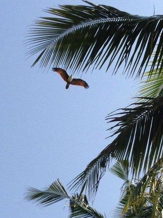 Varkala SeaShore Beach Resort : Eagle in the sky