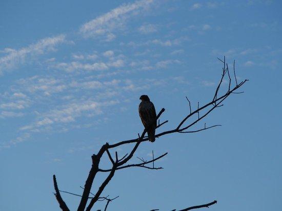 Edwin B. Forsythe National Wildlife Refuge: A watchful hawk under blue sky