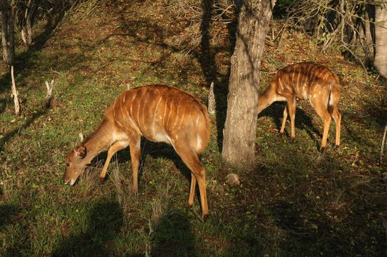 Marc's Treehouse Lodge : Antelopes on the complex