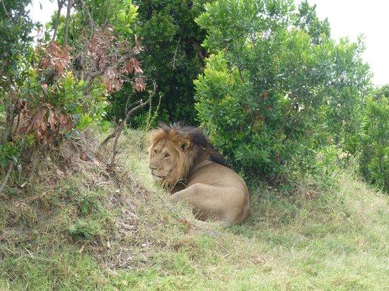 Leleshwa Camp: Simba