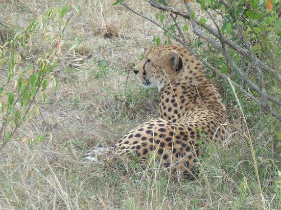 Leleshwa Camp: Cheetah