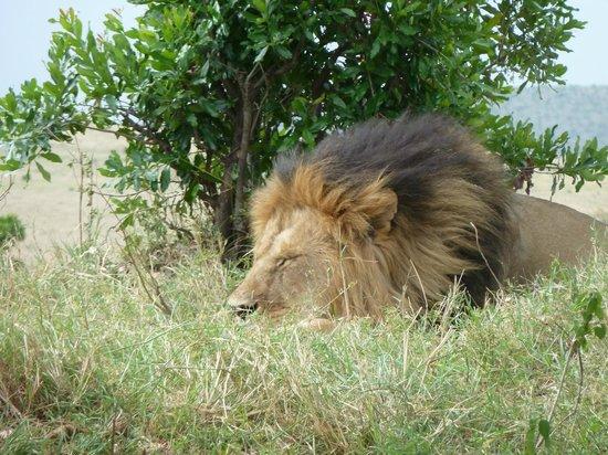 Leleshwa Camp: simba sleeping