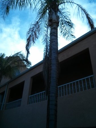 Westin Mission Hills Golf Resort & Spa: Unmanicured palm trees in the courtyard of building 7