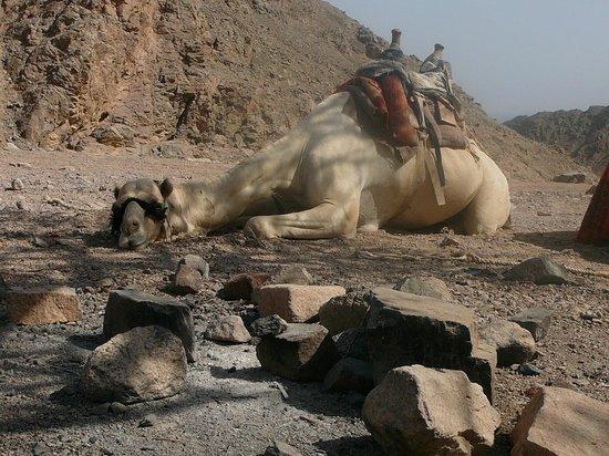 Nuweiba Coral Resort: поездка на верблюдах