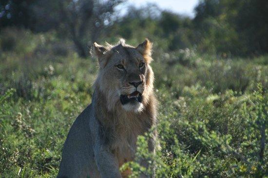 Kwandwe Great Fish River Lodge: King of beasts!