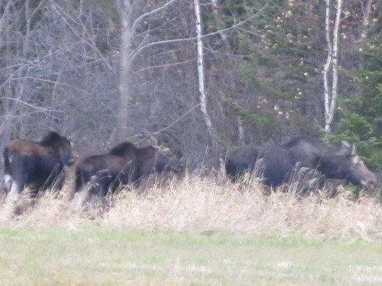 Phineas Swann Bed and Breakfast Inn : Moose on the way to Dog Mountain