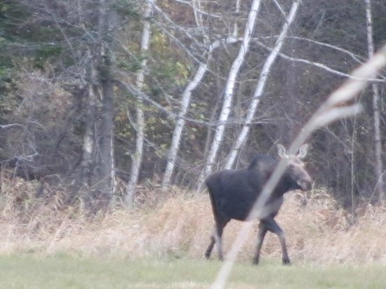 Phineas Swann Bed and Breakfast Inn: Moose on the way to Dog Mountain