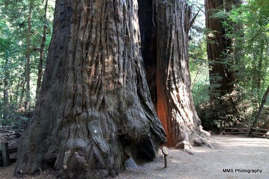Henry Cowell Redwoods State Park: Redwoods