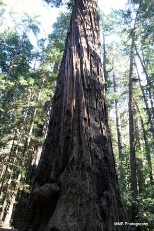 Henry Cowell Redwoods State Park: Redwoods2